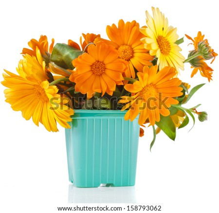beautiful bouquet of flower calendula officinalis in color plastic flowerpot Isolated on white background  - stock photo