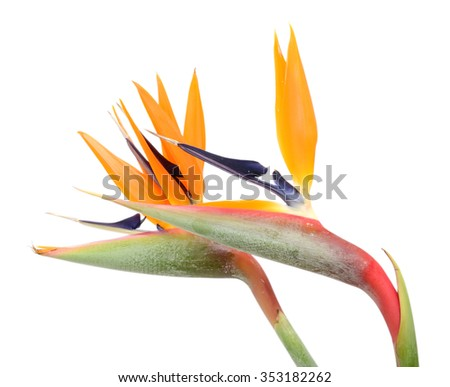 beautiful bouquet of flowers bird of paradise on a white background - stock photo