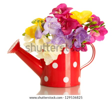 Beautiful bouquet of freesias in watering can, isolated on white