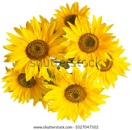 Beautiful bouquet of sunflower flowers isolated on white background. Agriculture, oil, seeds. Fashionable composition. Flat lay, top view. Creative concept harvest