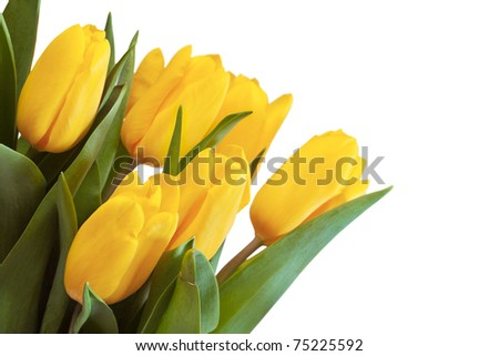 Beautiful bouquet of yellow tulip on a white background.