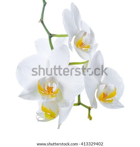beautiful branch of blooming white with yellow orchid flower, phalaenopsis is isolated on white background, close up - stock photo