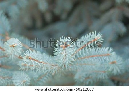 beautiful branch of blue fir-tree as abstract christmas background