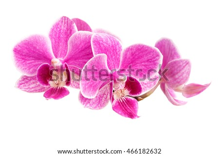 Beautiful branch of pink orchids isolated on a white background