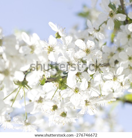 Beautiful branch of white cherry blossom flowers with selective focus against pale blue sky. - stock photo