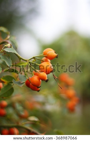 beautiful branch of wild rose - stock photo