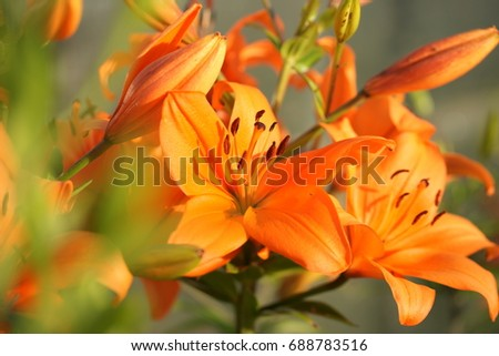 Beautiful bright lilies in the garden