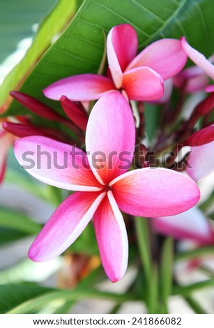 Beautiful bright pink frangipani flowers in queensland, australia