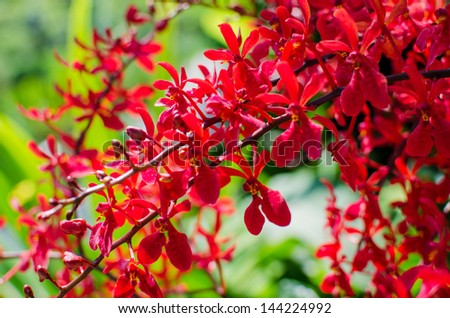 Beautiful bright red orchid flowers in Botanical garden , close up details - stock photo