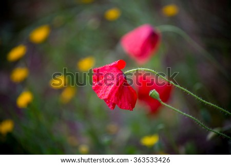 beautiful bright red poppy flowers in meadow  - stock photo