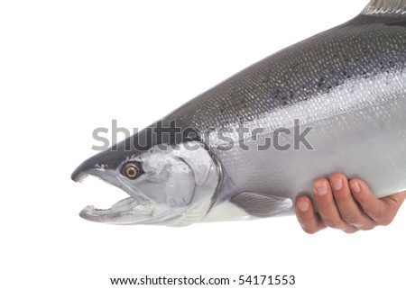 Beautiful bright silver Coho salmon ready to be released isolated on white background