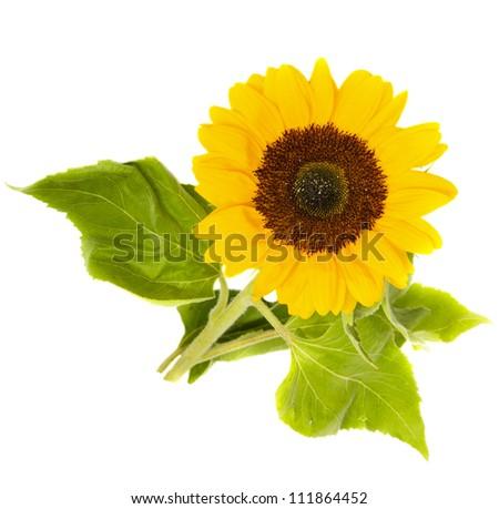 beautiful bright sunflower isolated on white background - stock photo