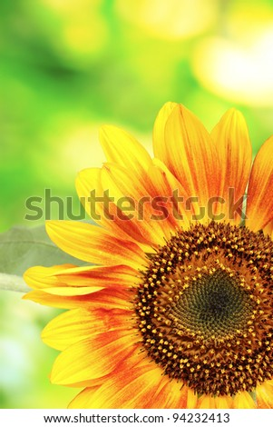 beautiful bright sunflowers on green background - stock photo