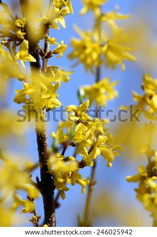 Beautiful bright vivid forsythia blossom twigs with some blue sky in background - stock photo