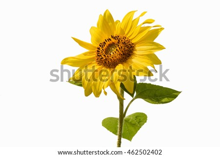 Beautiful bright yellow flower of a sunflower closeup isolated on white background