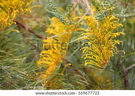beautiful bright yellow grevillea flower in australia - stock photo