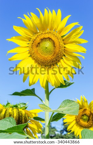 Beautiful bright yellow sunflower over blue sky - stock photo