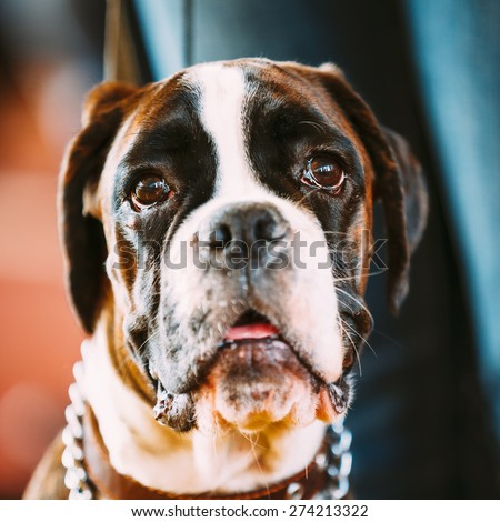 Beautiful Brown And White Boxer Dog Close Up Portrait. - stock photo