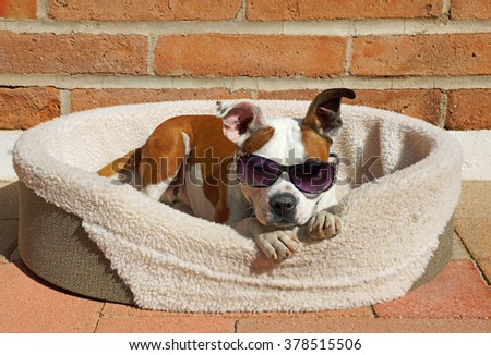 Beautiful brown and white bulldog cross dog wears his sunglasses while he relaxes in his bed in the sunshine