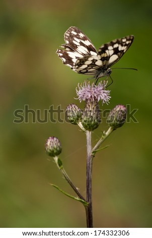 Beautiful, brown and white butterfly on a pink flower with natural background