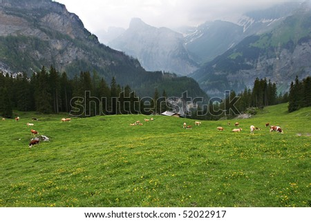 Beautiful brown and white cows are contentedly grazing in a meadow in the Swiss Alps near Kandersteg - stock photo