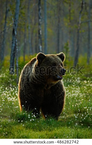 Beautiful brown bear walking around lake in the morning sun. Dangerous animal in nature forest and meadow habitat. Wildlife scene from Finland near Russia bolder. Morning light with big brown bear.