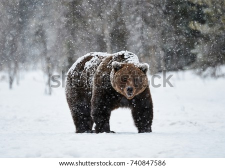 angry bear stock images royalty free images vectors. Black Bedroom Furniture Sets. Home Design Ideas