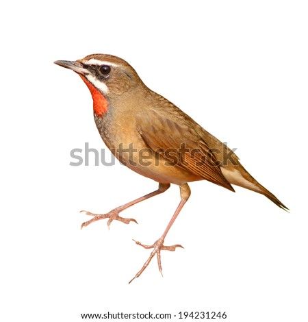 Beautiful brown bird, Male of Siberian Rubythroat (Luscinia calliope) isolated on white background.