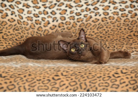 Beautiful brown Burmese cat in front of some blanket - stock photo