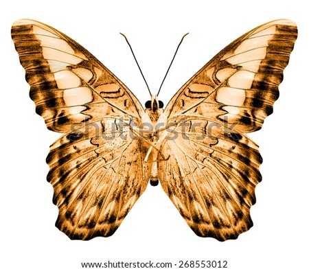 Beautiful brown butterfly in fancy color isolated on white background - stock photo