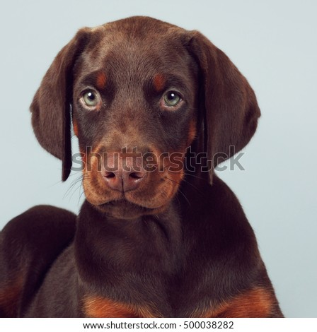 Beautiful brown Doberman puppy sitting on blue background in the Studio, carefully and seriously looking at you. The best dog for the protection of the family
