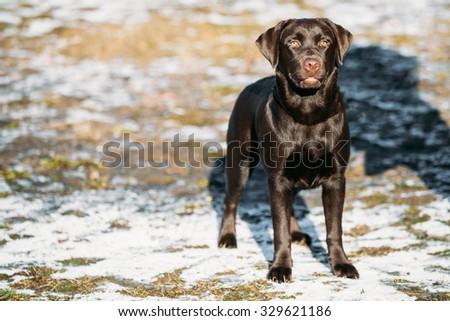 Beautiful Brown Dog Labrador Retriever Staying Outdoor, Winter Season - stock photo