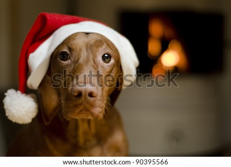 Beautiful brown female Hungarian Vizsla dog dressed in a santa hat. - stock photo