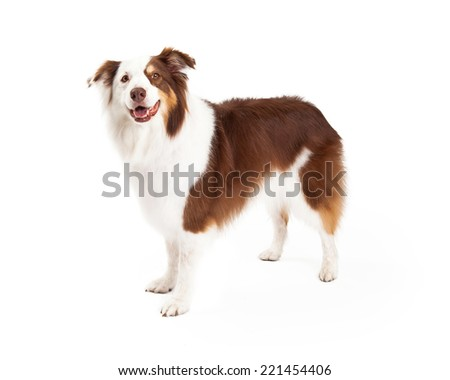Beautiful brown, gold and white border collie standing looks forward into the camera - stock photo