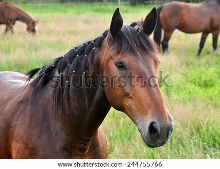 Beautiful brown grooming horse - stock photo