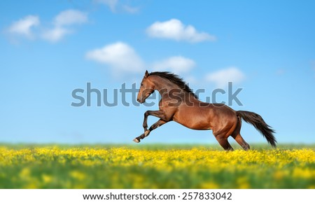 Beautiful brown horse galloping across the field and yellow flower against the blue sky - stock photo
