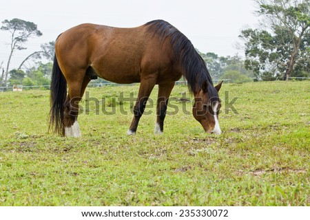 Beautiful brown horse grazing short green grass on a hill side - stock photo