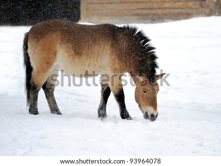 Beautiful brown horse in winter time