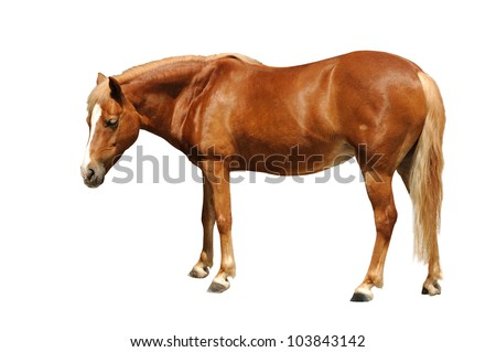Beautiful brown horse isolated against white background. selective focus. - stock photo