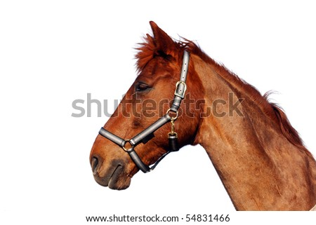 Beautiful brown horse, isolated on white background