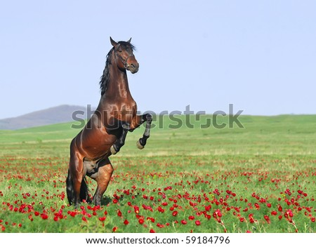 beautiful brown horse rearing on pasture - stock photo