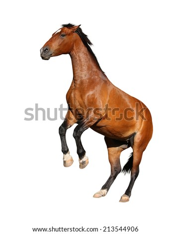 Beautiful brown horse rearing up isolated on white background - stock photo