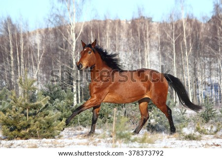 Beautiful brown horse running free in winter