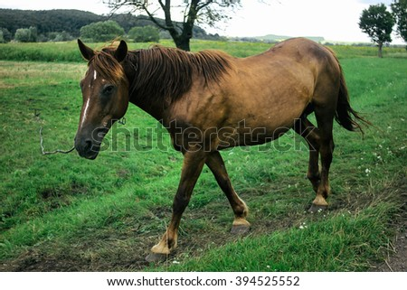 beautiful brown horse walking and grazing in a field near a road, summer in country side
