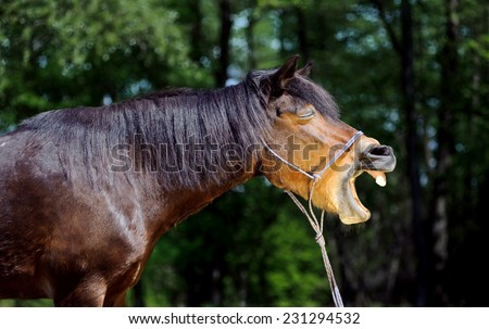 Beautiful brown horse yawning mouth wide open. laughing on a blurred green background. Portrait of a mare halter ropes course. - stock photo