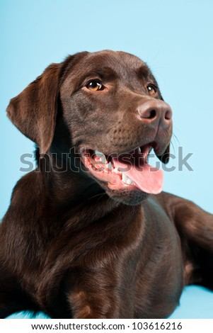 Beautiful Brown labrador retriever isolated on light blue background. Studio shot.