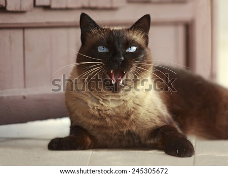 Beautiful brown Siamese cat on the porch outside the house, red tongue licked - stock photo