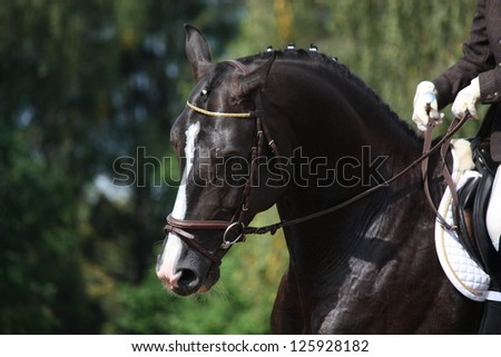 Beautiful brown sport horse portrait during dressage competition - stock photo