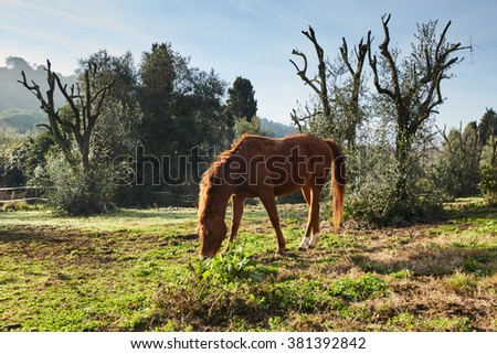 Beautiful brown stallion nibbling grass in a meadow, looking into the camera, standing frontal, side, a large angle, a common frame