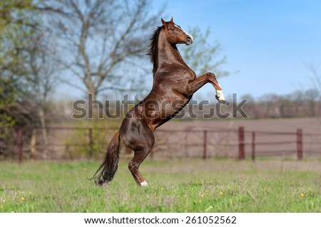 Beautiful brown stallion on a background of green blurry field in the spring. Horse flaunts worth the candle, jumps. - stock photo